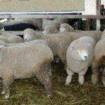 Productores de Pasco Mejoran Calidad Genética de Carne y Lana de Ovino