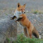 La detección de parásitos en el zorro rojo alerta de la transmisión a humanos y animales de granja