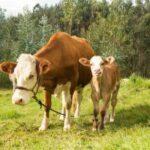 MINAGRI anuncia identificación masiva del ganado vacuno en Cajamarca