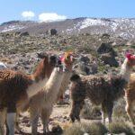 Atención del MINAGRI resguarda la sanidad de camélidos frente a temporada de heladas en Tacna