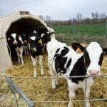 ¿Cuál es la fuente ideal de nutrientes para los terneros?