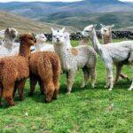 Minagri mejora producción alpaquera con embriones de calidad genética
