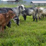 Productores de Amazonas Mejoran Calidad de Carne del Ganado Vacuno