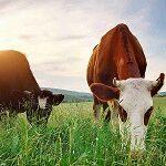 España Estudia Vacas Alimentadas por Pastoreo: Leche más Sana
