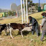 Identificación de Animales Beneficia a la ganadería familiar en Arequipa