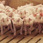 Hallan Fiebre Letal Porcina en Alemania, el Principal Productor de Carne de Cerdo de Europa EUROPA