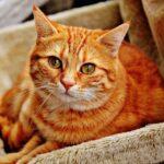 Un estudio confirma que el primer gato infectado con SARS-CoV-2 en España falleció por una patología grave