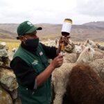 Huancavelica: En Tambos Entregaron Kits Veterinarios para Cuidado de 2 mil Cabezas de Ganado