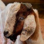 Alcanzan los Primeros Machos que Pueden Reproducir con Esperma de Animales Donantes