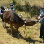 MINAGRI realiza monitoreo serológico para descarte de Brucelosis bovina en Ancash