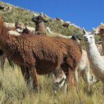 Identifican Altos Niveles de Proteínas en la Leche de Llama
