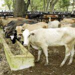 Académicos en los Países Bajos Buscan Reducir las Emisiones de Gases de Efecto Invernadero en la Ganadería