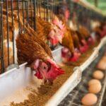 MINAGRI verifica condiciones sanitarias de granja de aves de postura