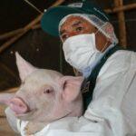 Perú Busca Declarar Zonas Libres de Peste Porcina Clásica