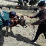 Identifican Ganado Bovino y Porcino para Mejorar el Control Sanitario en la Producción Pecuaria
