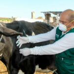 Huaral: MINAGRI desarrolla campañas de vacunación para la prevención del Ántrax