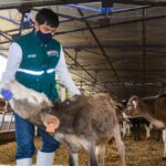 MINAGRI brinda asistencia sanitara para mejora de ganado vacuno de Centro Experimental