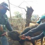 MINAGRI implementó sistema de trazabilidad animal en la región Tumbes