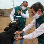 Atención de la ganadería familiar registró la vacunación de más de 42 mil animales para prevenir el ántrax y carbunco sintomático