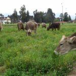 Ganaderos Colombianos en Alerta por Masivas Importaciones de Productos Lácteos