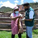 Más de 12 mil criadores de cerdos fueron beneficiados con Campañas de vacunación de Peste Porcina
