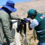 SENASA certifica establos de ganado lechero libre de Brucelosis y TBC bovina