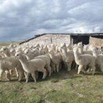 MIDAGRI Impulsa Venta de Fibra de Alpaca y Lana de Ovino en Rueda de Negocio Virtual