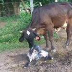 Enfermedades Metabólicas en Vacas de Transición