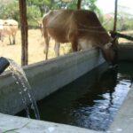 Como Evitar la Intoxicación Hídrica del Ganado Bovino