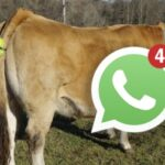 Crean Dispositivo que Notifica vía WhatsApp el momento del Parto de las Vacas