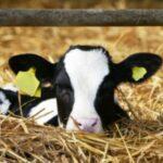 Segun Estudio Terneros se benefician de un alimento de inicio más rico en proteínas