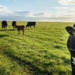 Mercado de Carne de Res Alimentada con Pasto Seguirá Creciendo en los Próximos Años