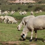 España es declarada oficialmente indemne de brucelosis ovina y caprina