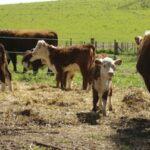 Argentina, Australia y Brasil empezarían a retener ganado, lo que reduciría oferta de carne