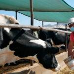 Midagri implementa programa para reactivación de sector ganadero lechero