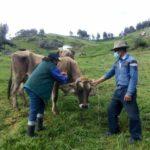SENASA inicia campaña de vacunación contra el Carbunco sintomático y Edema maligno