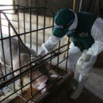 SENASA protege producción de ganado porcino mediante campaña de vacunación
