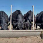 Vacas Lecheras: ¿ Cómo Producir el Maíz Ideal para su alimentación?