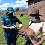 Campaña de vacunación contra la peste porcina resguarda capital pecuario de criadoras de cerdos