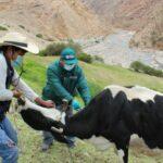 SENASA desarrolla campañas de vacunación contra Carbunco Sintomático en beneficio de ganadería familiar de Moquegua