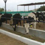 Establo modelo de Reque permitirá mejorar la calidad lechera en Chiclayo