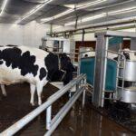 Establo más Moderno de Paraguay Enfocado en Confort de Vacas