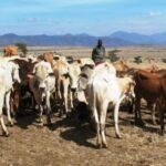 Se cumplen 10 años de la erradicación de la peste bovina, gracias a las vacunas