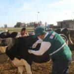 Campaña de vacunación contra el Carbunco sintomático protege sector ganadero en región altiplánica