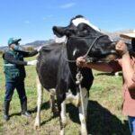 Campaña de Vacunación contra el Carbunco Sintomático Resguarda Capital Pecuario de Ganadería Familiar en Cusco