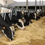 De acuerdo con Cargill y la Universidad Tecnológica de Texas, las Crías de Cruces entre Ganado de Leche y de Carne tienen una Mejora Sustancial en Productividad