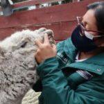 Acciones priorizadas del SENASA protegen la ganadería familiar de Regiones Peruanas