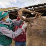 Estrategias sanitarias del SENASA despliegan acciones permanentes para el control de Tuberculosis y Brucelosis bovina