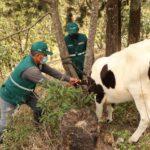 Lambayeque: Identificación de porcinos y bovinos registra un avance de más del 70%