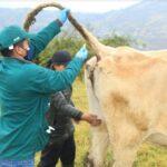 Refuerzan acciones de prevención y control de Brucelosis bovina en Amazonas - Perú